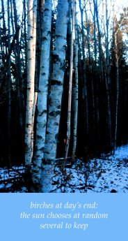 birches at day's end: the sun chooses at random several to keep