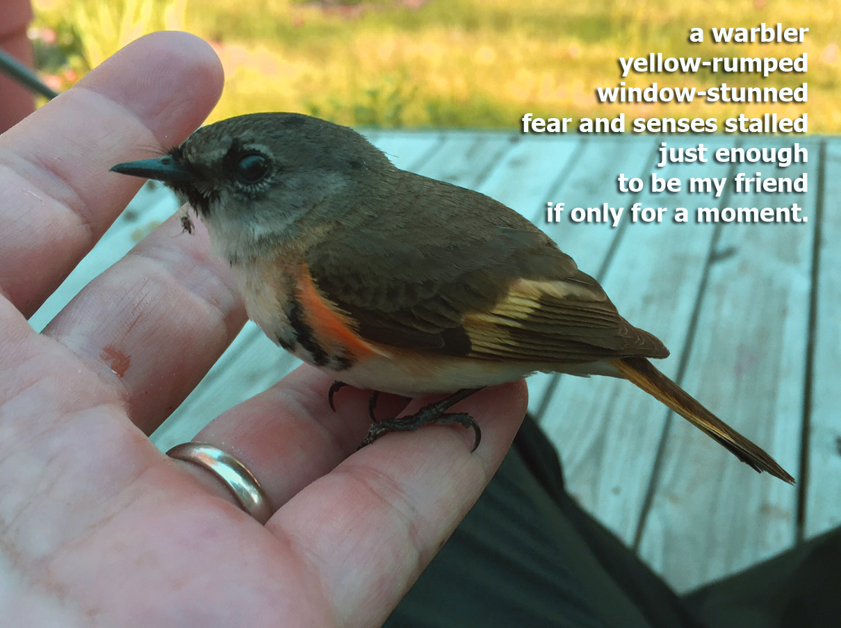 warbler copy